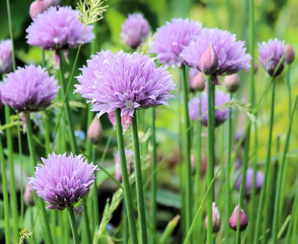 Kvetoucí pažitka v přírodě.  Foto: Pixabay.com